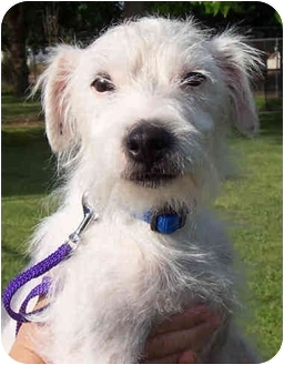 Jack Russell Terrier Dog for adoption in Phoenix, Arizona - ARIES