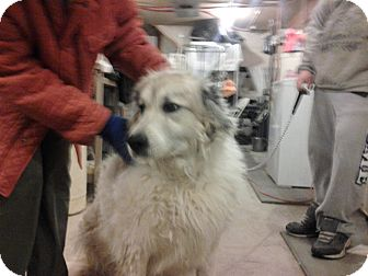 Great Pyrenees Dog for adoption in Lee, Massachusetts - Lucy - NY 2015