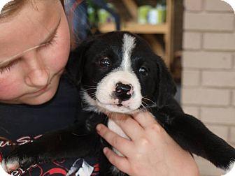 Blue Heeler Mix Puppy for adoption in Oakdale, Louisiana - Simone