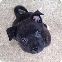 Adopt A Pet :: Shadow - Brant, ON