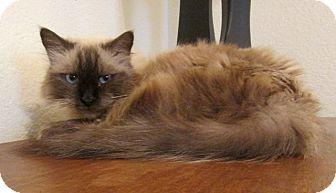 Siamese Cat for adoption in Gilbert, Arizona - Summer