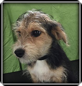 Terrier (Unknown Type, Small) Mix Puppy for adoption in Indian Trail, North Carolina - Molly