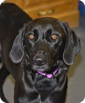Labrador Retriever Mix Dog for adoption in Meridian, Idaho - Indie