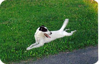 Border Collie/Australian Cattle Dog Mix Dog for adoption in Orwigsburg, Pennsylvania - LUCKY **COURTESY POST**