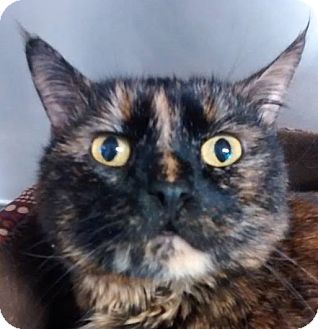 Domestic Shorthair Cat for adoption in Springfield, Vermont - Cheryl