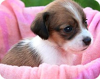 """Dachshund/Beagle Mix Puppy for adoption in Winchester, Kentucky - POPPY(OUR TINY """"DOXLE"""" GIRL!"""