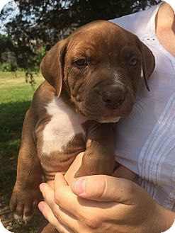 Pit Bull Terrier Mix Puppy for adoption in Clarksville, Tennessee - Charlie Brown