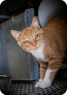Domestic Shorthair Kitten for adoption in Henderson, North Carolina - Mark