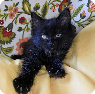 Domestic Longhair Kitten for adoption in Bristol, Connecticut - Benito