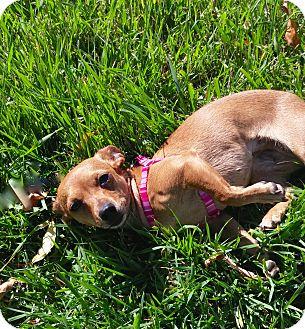Dachshund/Chihuahua Mix Dog for adoption in Englewood, Colorado - Bon-Bon