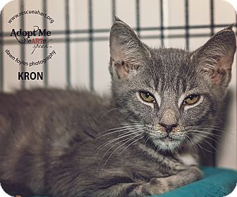 Domestic Shorthair Kitten for adoption in Cincinnati, Ohio - Kron