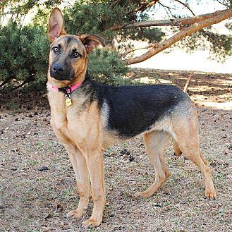 German Shepherd Dog/Hound (Unknown Type) Mix Dog for adoption in Denver, Colorado - Shiloh