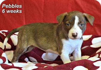 Labrador Retriever Mix Puppy for adoption in Yreka, California - Pebbles