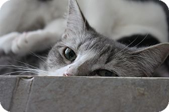 Domestic Shorthair Cat for adoption in McKinney, Texas - Bob