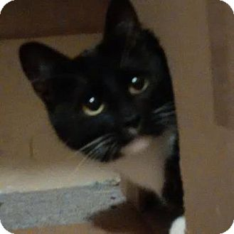 Domestic Shorthair Cat for adoption in Hanover, Ontario - Bonny