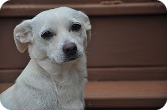 Chihuahua Dog for adoption in West Nyack, New York - Gracie Mae