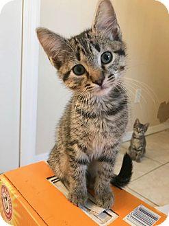 Domestic Shorthair Kitten for adoption in Smithtown, New York - Sienna