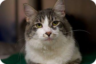 Domestic Shorthair Cat for adoption in Detroit, Michigan - Sebastian