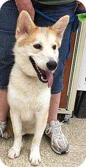 Siberian Husky Mix Dog for adoption in Amarillo, Texas - Spirit