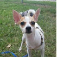 Adopt A Pet :: Chica - Cat Spring, TX