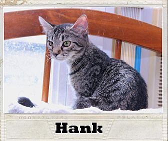 Domestic Shorthair Kitten for adoption in Media, Pennsylvania - Hank