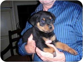 Rottweiler Mix Puppy for adoption in Malibu, California - Robbie
