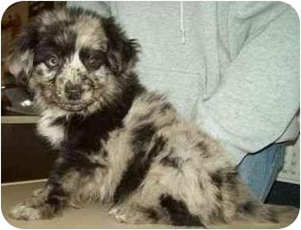 Australian Shepherd/Catahoula Leopard Dog Mix Puppy for adoption in North Judson, Indiana - Sara