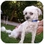 Photo 1 - Lhasa Apso/Poodle (Miniature) Mix Dog for adoption in Harbor City, California - Gus