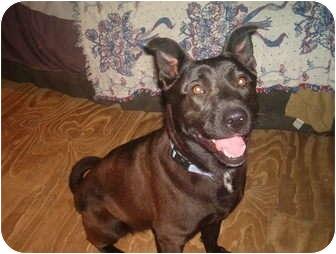 Labrador Retriever/Chow Chow Mix Dog for adoption in North Jackson, Ohio - Sophie
