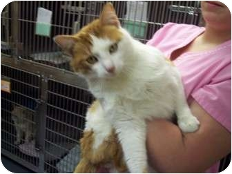 Domestic Shorthair Cat for adoption in New London, Wisconsin - Felix