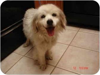 American Eskimo Dog Mix Dog for adoption in Kingwood, Texas - Bella