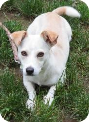 Chihuahua/Spaniel (Unknown Type) Mix Dog for adoption in Bloomfield, Connecticut - Sweetman