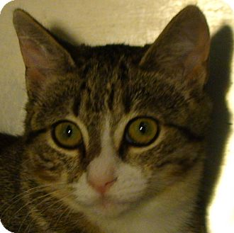 Domestic Shorthair Kitten for adoption in El Cajon, California - Paula