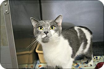 Domestic Shorthair Cat for adoption in Anderson, Indiana - Sam