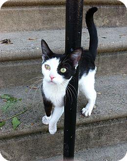 Domestic Shorthair Kitten for adoption in Horsham, Pennsylvania - Sophie