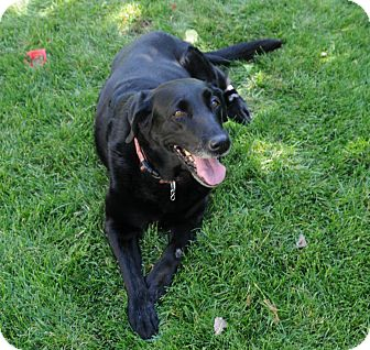 Labrador Retriever Dog for adoption in Denver, Colorado - Keeta