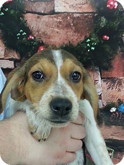 English Pointer/Labrador Retriever Mix Puppy for adoption in Orland Park, Illinois - Dolly