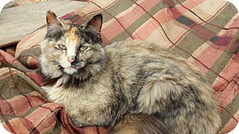 Domestic Mediumhair Cat for adoption in Pueblo West, Colorado - Shireen