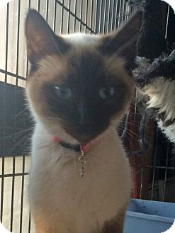 Siamese Kitten for adoption in Mandeville Canyon, California - Celine