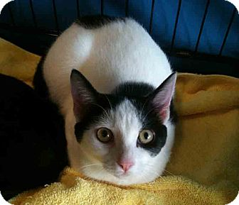 Domestic Shorthair Kitten for adoption in Gaithersburg, Maryland - Spot