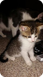Domestic Shorthair Kitten for adoption in Huntley, Illinois - Linus a Girl!!!