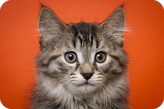 Domestic Longhair Kitten for adoption in Royal Oak, Michigan - JETHRO