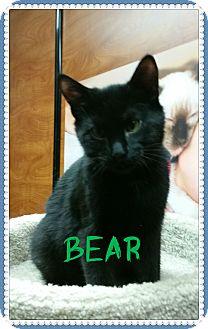 Domestic Shorthair Kitten for adoption in Okotoks, Alberta - Bear