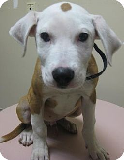 Terrier (Unknown Type, Medium) Mix Puppy for adoption in Gary, Indiana - Jake
