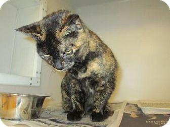 Domestic Shorthair Cat for adoption in Cumming, Georgia - Heidi