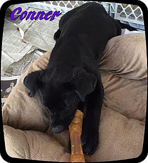 Labrador Retriever/Chow Chow Mix Puppy for adoption in Ahoskie, North Carolina - Conner