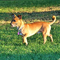 Dachshund/Chihuahua Mix Dog for adoption in Palm Springs, California - Lil B