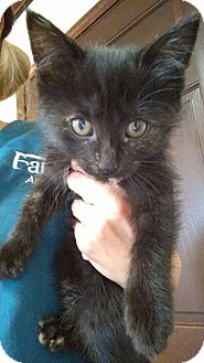 Domestic Shorthair Kitten for adoption in Austintown, Ohio - Marie