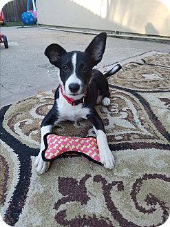 Border Collie/Australian Cattle Dog Mix Puppy for adoption in Lodi, California - Boomer