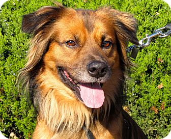 German Shepherd Dog Mix Dog for adoption in Overland Park, Kansas - A076910
